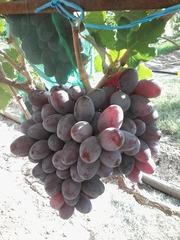 Виноградная гроздь.Лучшие сорта винограда.Новинки!