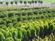 Выращиваем и продаем оптом саженцы ели разной высоты и размеров. от